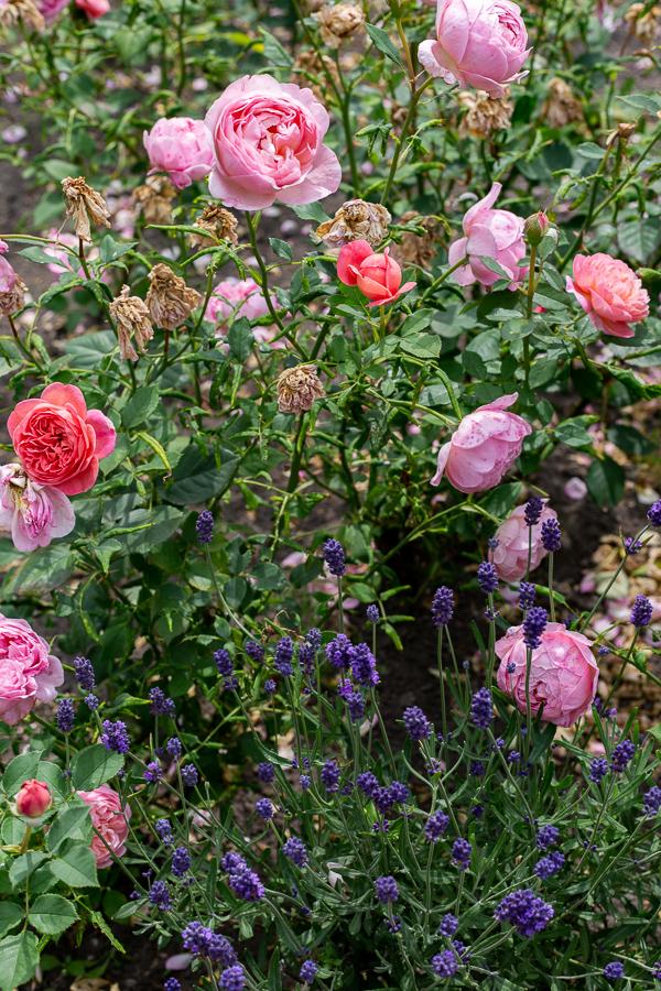 Schlossgarten, Oldenburg, park, landscape, garden, roses